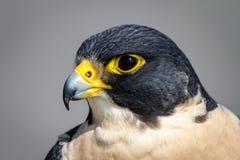 Peregrine Falcon Stock Photos
