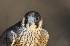 Peregrine Falcon in close up Royalty Free Stock Photos