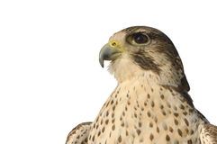 Peregrine Falcon Closeup Stock Photography