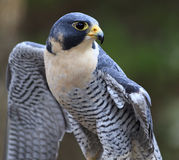 Peregrine Falcon. Closeup of a blue-grey peregrine falcon Stock Photo