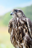Peregrine Falcon closeup Stock Images