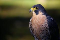 Peregrine Falcon in Colorado Fotografie Stock Libere da Diritti