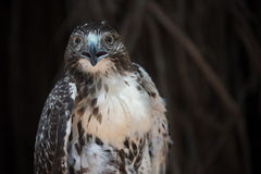 Peregrine Falcon,Cuban fauna Stock Photo