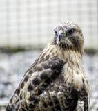 Peregrine Falcon de Alaska Fotografía de archivo