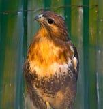 Peregrine Falcon, die auf einer Niederlassung sitzt und direkt uns betrachtet Stockfotos