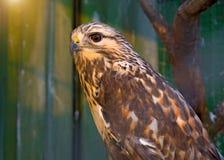 Peregrine Falcon, die auf einer Niederlassung sitzt und direkt uns betrachtet Stockfotografie