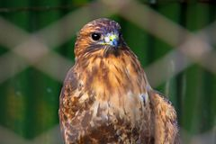 Peregrine Falcon, die auf einer Niederlassung sitzt und direkt uns betrachtet Stockfoto
