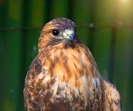 Peregrine Falcon, die auf einer Niederlassung sitzt und direkt uns betrachtet Lizenzfreies Stockbild