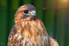 Peregrine Falcon, die auf einer Niederlassung sitzt und direkt uns betrachtet Lizenzfreies Stockfoto