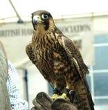 Peregrine Falcon, die auf Lenkerhandschuh stillsteht lizenzfreies stockbild