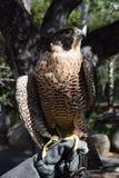 Peregrine Falcon, die für Flug sich vorbereitet Stockbilder