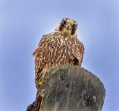 Peregrine Falcon die intens staren stock foto's