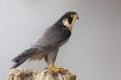 Peregrine Falcon die op een rots wordt neergestreken Royalty-vrije Stock Foto's