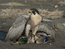 Peregrine Falcon. A Peregrine Falcon with a Drake Mallard Royalty Free Stock Images