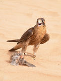 Peregrine falcon - Dubai Desert Conservatio Reserve - Al Maha - Stock Photo