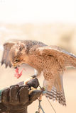Peregrine falcon - Dubai Desert Conservatio Reserve - Al Maha - Stock Images