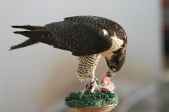 Peregrine Falcon Eating the Catch Stock Photos