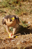 Peregrine Falcon eating a chick Stock Images