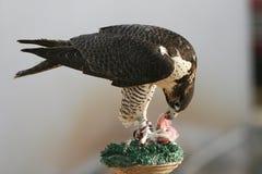 Peregrine Falcon Eating de Vangst stock foto's