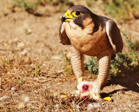 Peregrine Falcon eating its prey Stock Photos