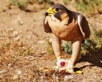 Peregrine Falcon eating its prey Stock Photos