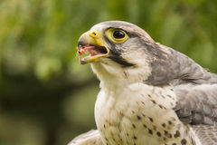 Peregrine falcon eating Stock Images