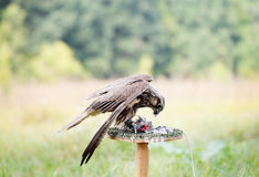 Peregrine Falcon eating a pigeon Stock Image