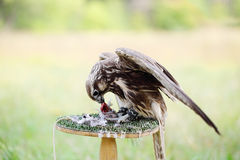 Peregrine Falcon eating a pigeon Royalty Free Stock Photography
