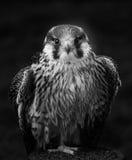 Peregrine Falcon en blanco y negro Foto de archivo