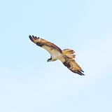Peregrine falcon. An endangered Peregrine Falcon flying. Chincoteague National Wildlife Refuge Royalty Free Stock Images