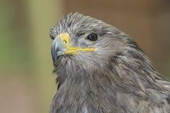 Peregrine Falcon? foto de stock