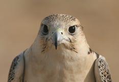 Peregrine Falcon Eyes Photo libre de droits