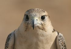 Peregrine Falcon Eyes Royalty Free Stock Photo