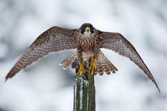 Peregrine Falcon fågel av rovsammanträde på trädstammen med öppna vingar under vinter med snö, Tyskland Djurlivplats från sno royaltyfria foton
