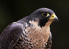 Peregrine Falcon Face Royalty Free Stock Photography