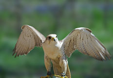 Peregrine Falcon ( Falco peregrinus ) Royalty Free Stock Images