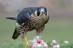 Free Peregrine Falcon (Falco Peregrinus) Royalty Free Stock Images - 55333909