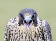Peregrine falcon. Peregrine falcon, falco peregrinus in aggressive attitude Royalty Free Stock Image