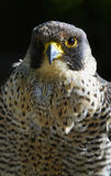Peregrine Stock Images