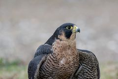 Portrait of Peregrine Falcon Falco peregrinus aka Duck Hawk th. The peregrine falcon . Falco peregrinus, also known as the peregrine, and historically as the Royalty Free Stock Photo