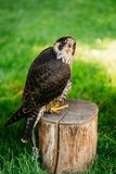 The peregrine falcon on green grass background Stock Images
