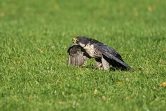 The peregrine falcon, Falco peregrinus. The fastest animals in the world. royalty free stock photos