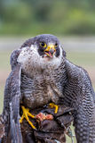 Peregrine Falcon (Falco peregrinus). These birds are the fastest animals in the world Royalty Free Stock Images