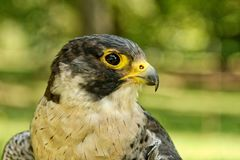 Peregrine falcon Falco peregrinus with blurred background Stock Photo