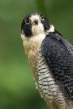Closeup of Peregrine Falcon. Or duck hawk Stock Photos