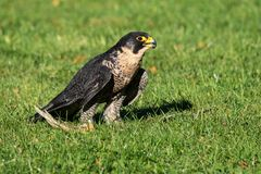 The peregrine falcon, Falco peregrinus. The fastest animals in the world. royalty free stock photo