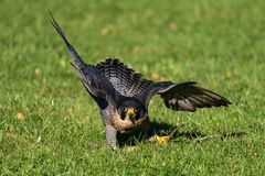 The peregrine falcon, Falco peregrinus. The fastest animals in the world stock images