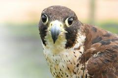 Peregrine Falcon (Falco Peregrinus). Gaze fixed close-up of a Peregrine Falcon (Falco Peregrinus Stock Photo