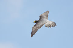 Peregrine Falcon (Falco peregrinus) Royalty Free Stock Photos