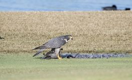 Peregrine Falcon Falco peregrinus on the Ground Eating a Kill. Peregrine Falcon Falco peregrinus on the Ground Eating an American Coot that it has Killed on a Stock Photo